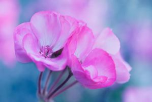 Pelargonium by SarahharaS1
