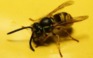 wasp on Seat Leon by webcruiser