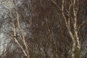 fine lace of birch branches 2 by steppelandstock