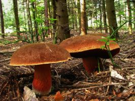boletus erythropus by therion81