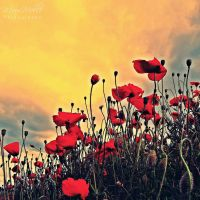 Red poppies by MauiMelle