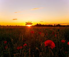 Poppy flower Sunset by davepphotographer