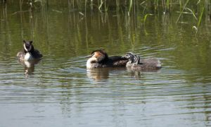 Baby Grebes and parents by Danimatie