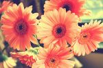 Gerbera two by Antvak