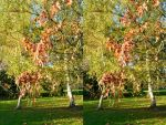 Stereoscopic Red Oak Autumnal Cascade Closer View by aegiandyad