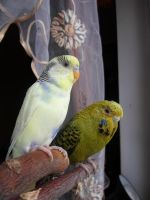 Little two budgies by Niirra