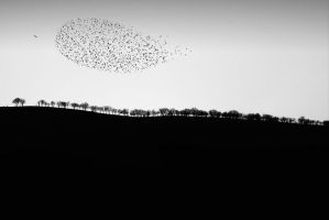 Starlings... by nurgonul