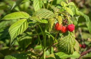 Three Red Raspberries by muffet1