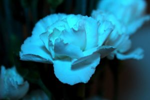 Cool Carnation by emilymhanson