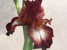 Rusty Red Iris 4 by DreamsWithinMe