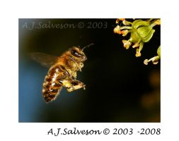 Incoming Bee by andy-j-s