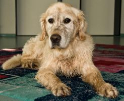 Golden Retriever - Mucky pup 2 by archaeopteryx-stocks