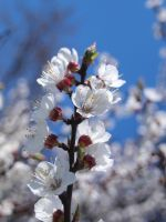 Apricot blossom 2 by SusuSketches