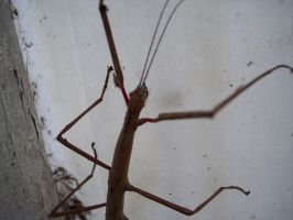 Stick Insect 4 by OWTC-Stock