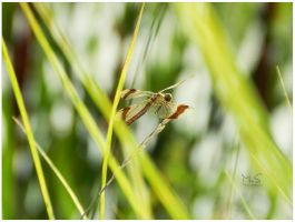 Dragonfly 3 by moonik9