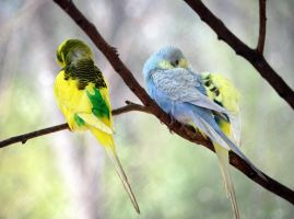 Sleeping Parakeets by jennalynnrichards