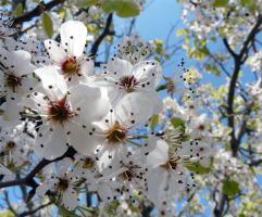 The Bradford Pear by lamarble