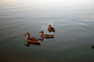 Random ducks by funerals0ng
