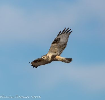 Rough Legged Hawk by sgt-slaughter