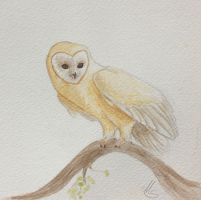 Barn owl by bofink