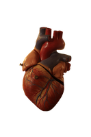 Human heart model by tamaraR-stock