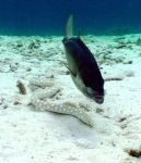 Jack follows hunting snake eel by g--f
