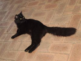 Black Turkish Angora X I by Twister4evaSTOCK