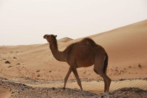Stock 7 Camel by monarxy-stocks