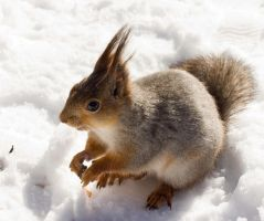 Sunny snow squirrel by TomiTapio