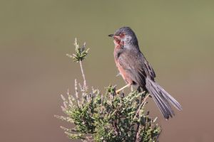 Just Chillin' - Dartford Warbler by Jamie-MacArthur