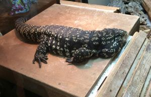 MBD Tegu by mr-author