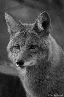 coyote portrait by Yair-Leibovich