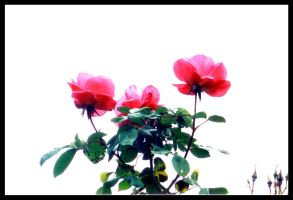 Three Pink Roses by XSomethingWickedX