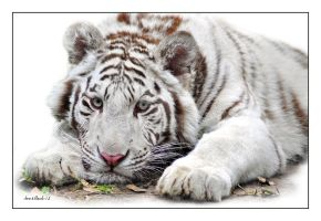 white tiger cub by photoflacky