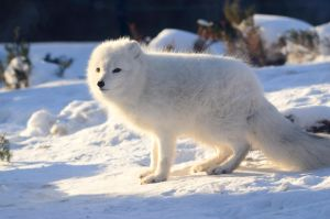 Snow Fox 13 by DarkBeforeDawn23
