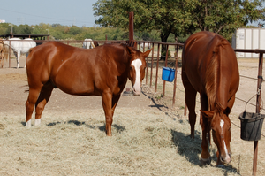 Chestnut horses stock by berry-stock
