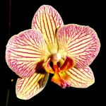 A ORCHID FOR TERESA by Dieffi