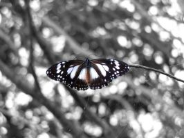 Marsh Tiger Butterfly by AfroDitee