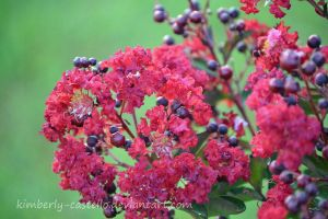 Crepe Myrtle by kimberly-castello