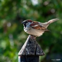 Sparrow V by NorbertKocsis