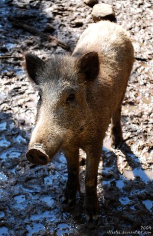 Boar: Call me Pumbaa