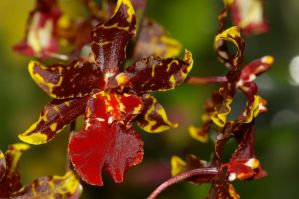 Red Orchid by PatGoltz