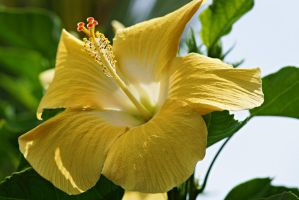 Hibiscus Flower Series 14 by a6-k