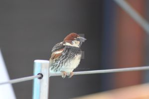House sparrow by rogerdurling