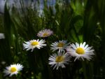 Daisies by Lupsiberg