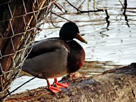 Mr. Duck by MagdaLena93