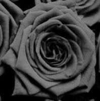 Black Rose by Plaid-Rose