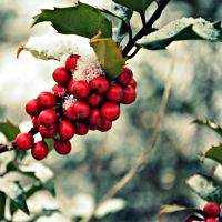 winter berries by photographybyfallon