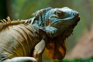 Green Iguana #02 by vetchyKocour