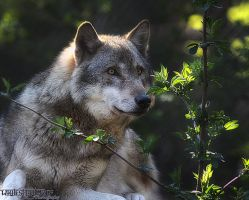 Grey Wolf: Portrait IV by WhiteSpiritWolf